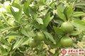 """嘉禾县平世水果""""美国糖桔"""" 新建150亩示范种植基地"""